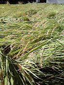 稲の収穫!
